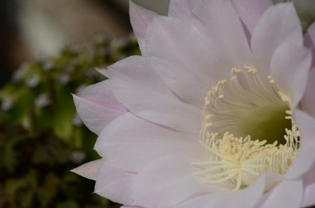 echinopsis001