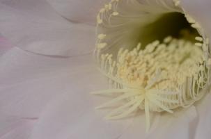 echinopsis003
