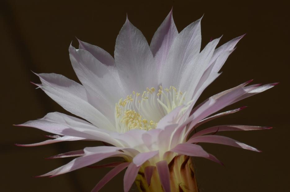 echinopsis004