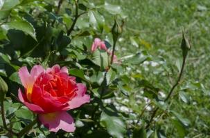 rose.garden002