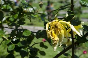 rose.garden006