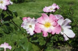 rose.garden007
