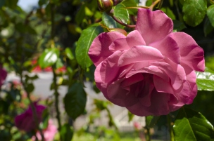 rose.garden008