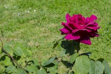 rose.garden009