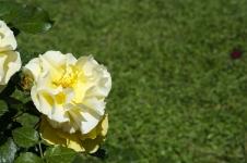 rose.garden010
