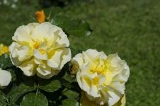 rose.garden011