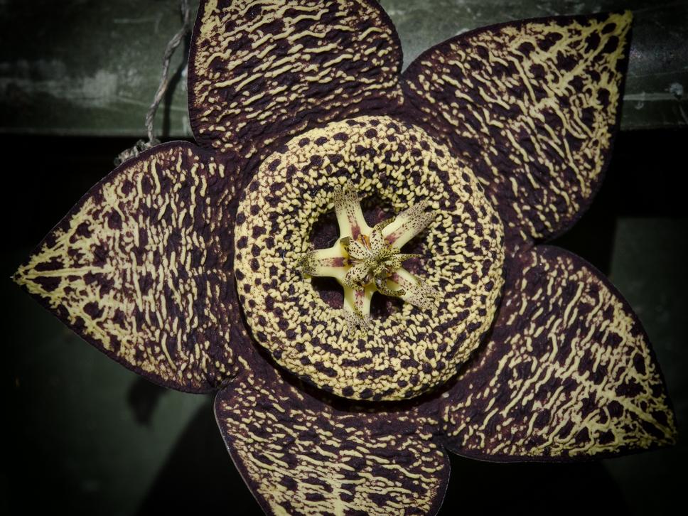 Stapelia variegata lukshots for Stapelia variegata